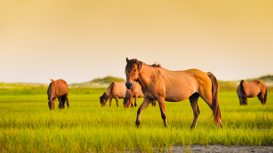 wild horses in Shackleford Banks, NC
